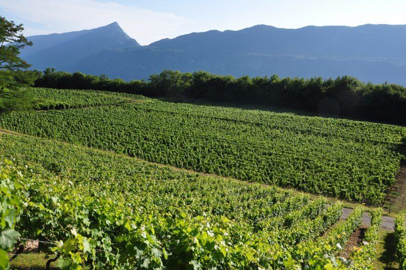 Vignoble_la_Combe_aux_Moines-Francois_Fouger-AixRiviera-1003
